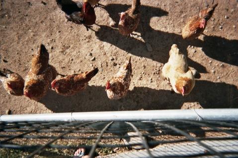 allegra hyde chickens